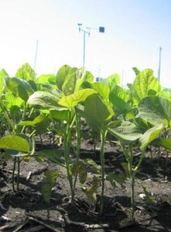 image of soybean plants growing in high carbon dioxide environments