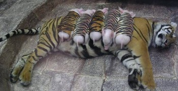 image of depressed tiger and baby piglet