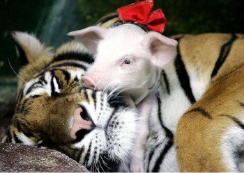 image of baby piglets being fed by a tiger