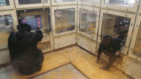 The chimpanzee Ai and her infant Ayumu at 2 years and 4 months. Both are engaged in their own computer task inside a testing booth (Photo by Mainichi Newspaper)