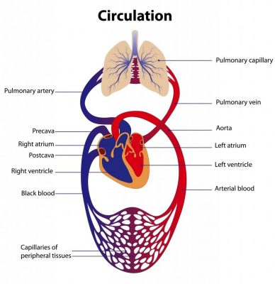Physiology of Circulatory System Biology Lab Tips