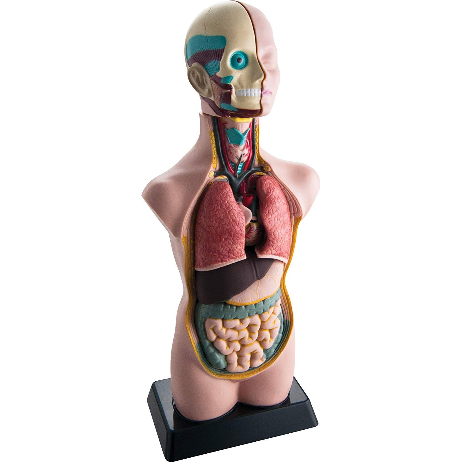 EDU-41007AR Human Body Torso Anatomical Model w/APP