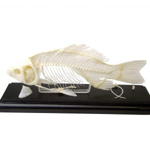 C & A Scientific - Premiere 51001 Real Fish Skeleton