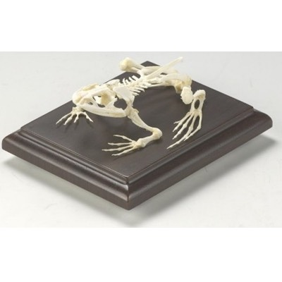51011 Bullfrog Skeleton Educational Rana Catesbeiana w/ Acrylic Cover