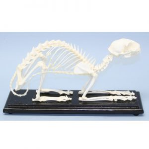 51009 Cat Skeleton Felis Catus Real Natural Bone Mounted w/ Cover