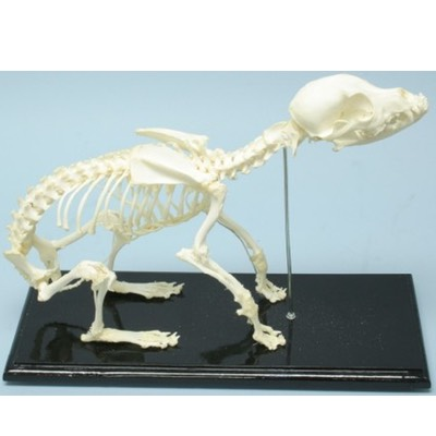 51014 Dog Skeleton Canis Articulated Real Bone Economical