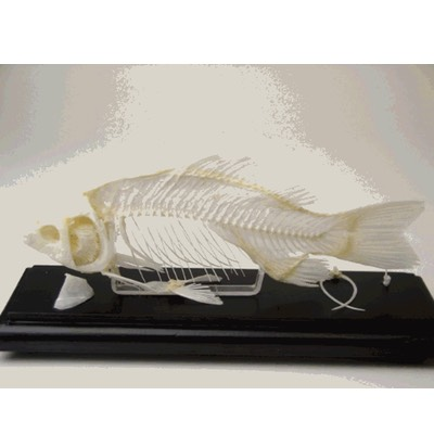 51001 Fish Skeleton Educational Natural Bone w/ Cover