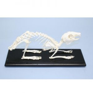 51004 Rabbit Skeleton Educational Oryctolagus Cuniculus Natural Bone w/ Cover