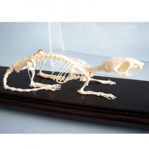 51012 Rat Skeleton Rattus Articulated Real Bone