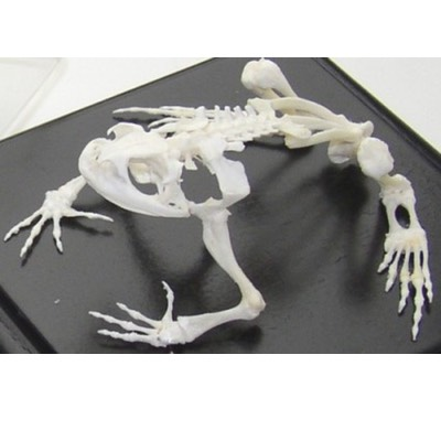 image of educational animal skeleton