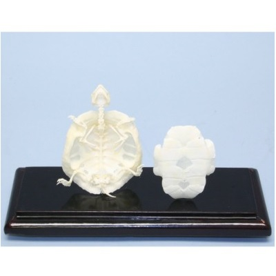 51005 Turtle Skeleton Educational Trachemys Scripta w/ Acrylic Cover