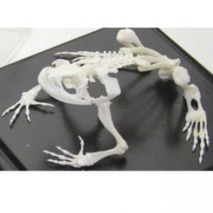 Educational Animal Skeletons & Skulls Real Natural Bone