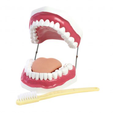 Oral Hygiene Model w/Key * Classroom * Dental Office or School