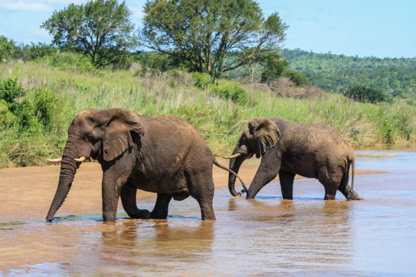 How Much Water Must Elephants Drink in a Day?