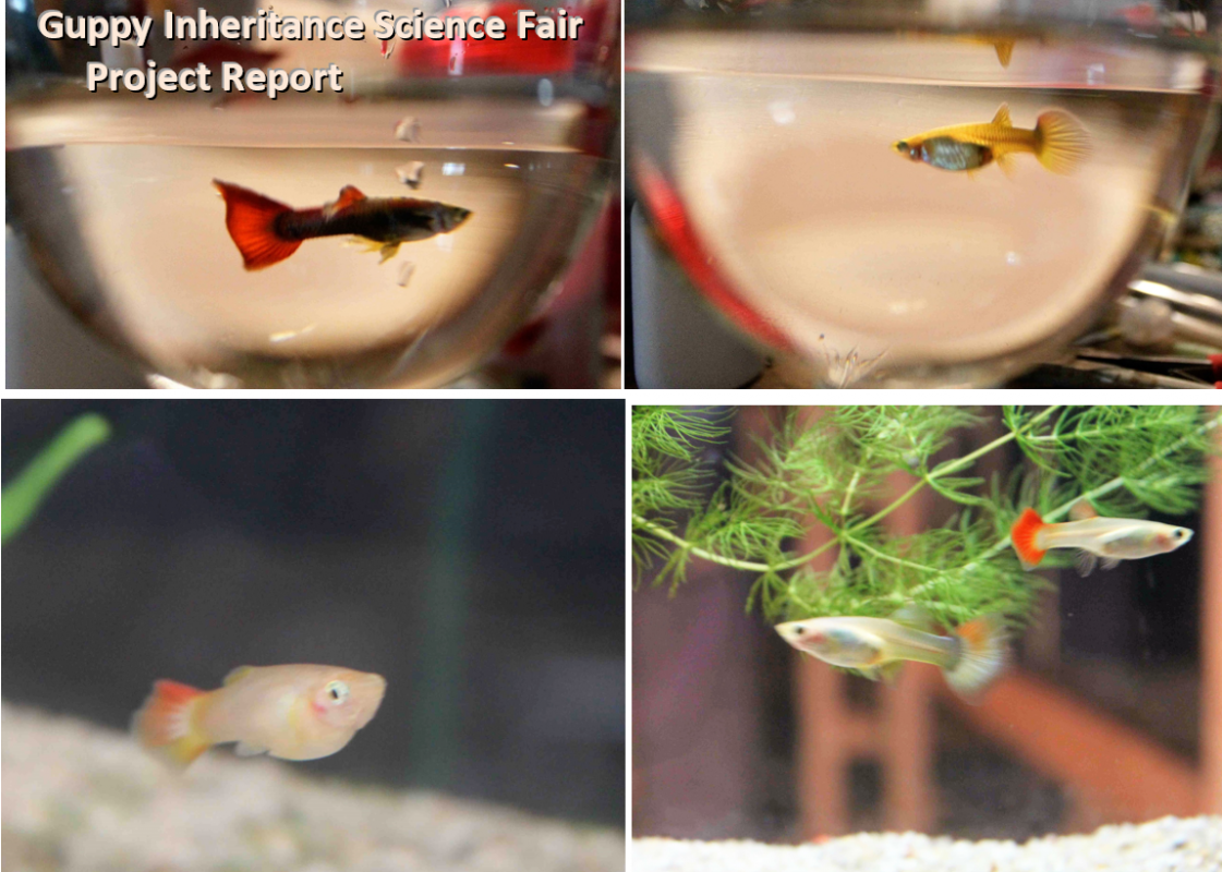Guppy Inheritance Science Fair Project Report