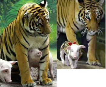 Female Tiger Mothering Piglets